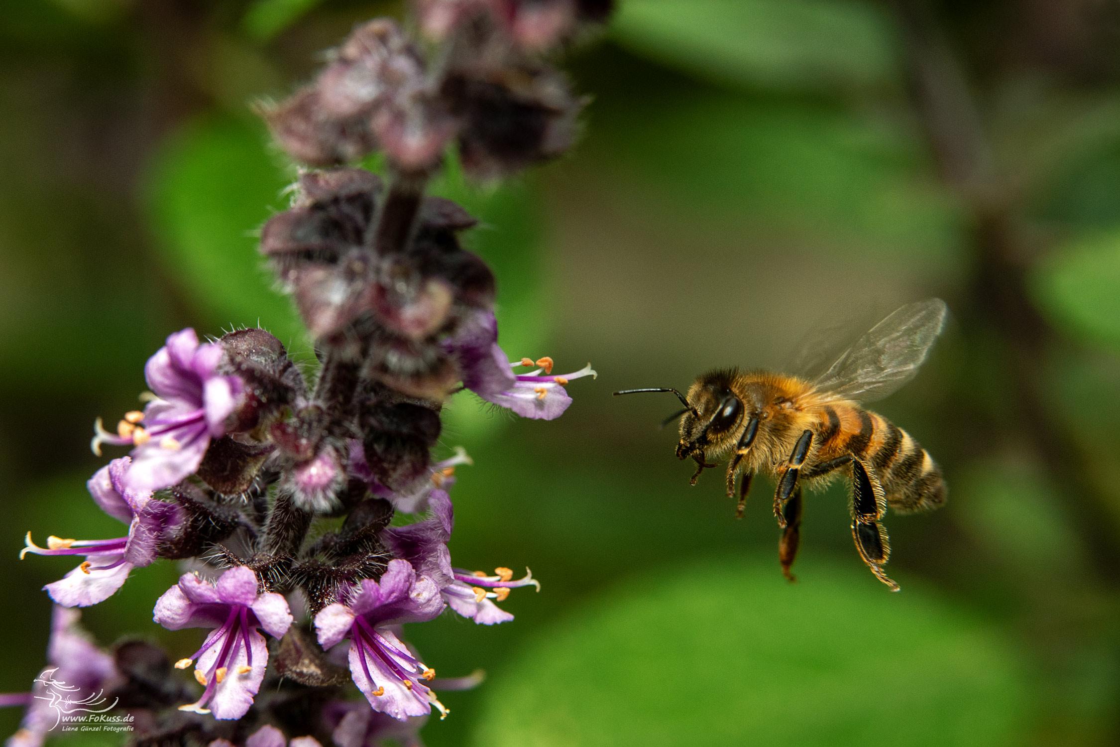 Honigbiene FoKuss