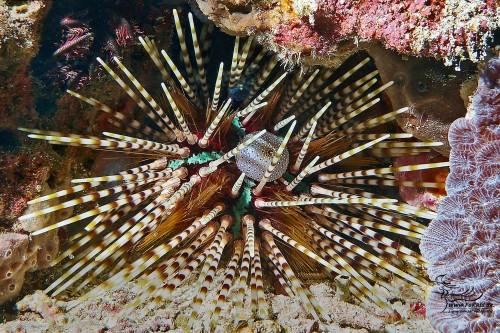 Bleistift-Diademseeigel (Echinothrix calamaris)