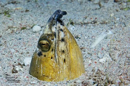 Sand-Schlangenaal (Ophichthus altipennis)