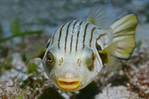 Gestreifter Kugelfisch (Arothron manilensis)