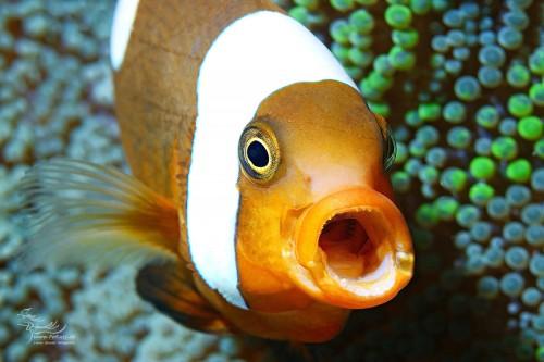 Sattelfleck-Anemonenfisch (Amphiprion polymnus)