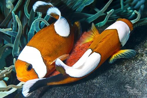 Laichablege - Sattelfleck-Anemonenfisch (Amphiprion polymnus)