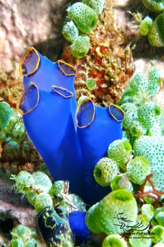 Blaue Seescheide (Clavelina caerulea)