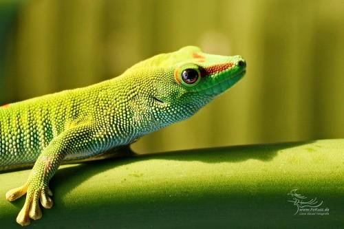 Madagaskar-Taggecko (Phelsuma madagascariensis)